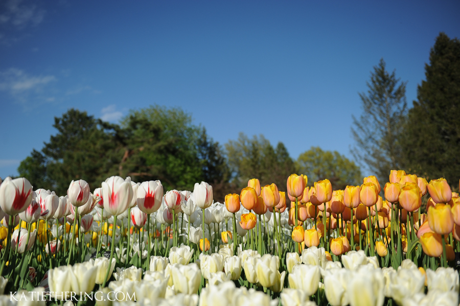 Tulips in bloom at the Minnesota Landscape Arboretum